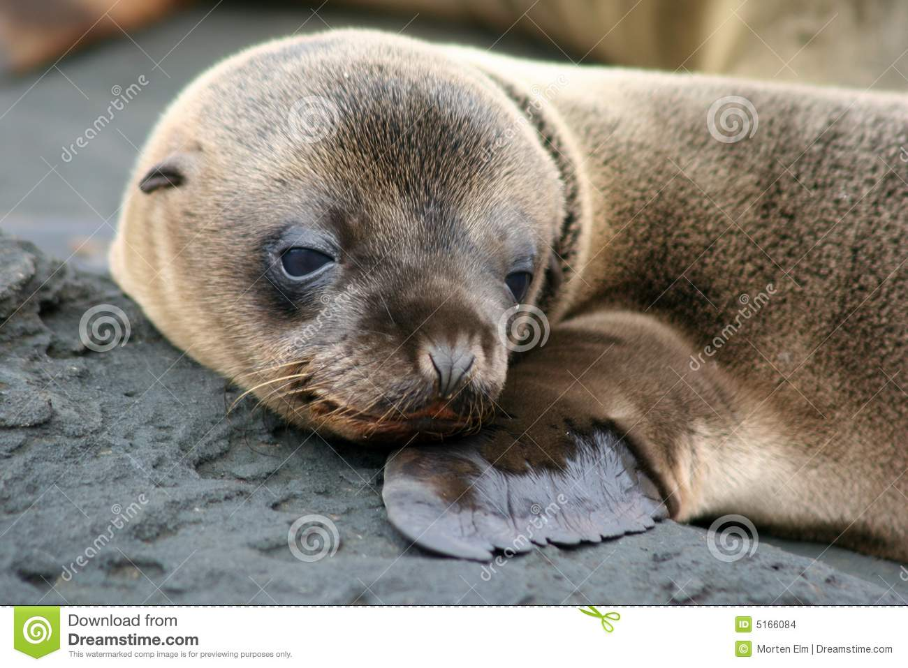 Sea Lion Puppy Galapagos Stock Photo Image Of Interest 5166084