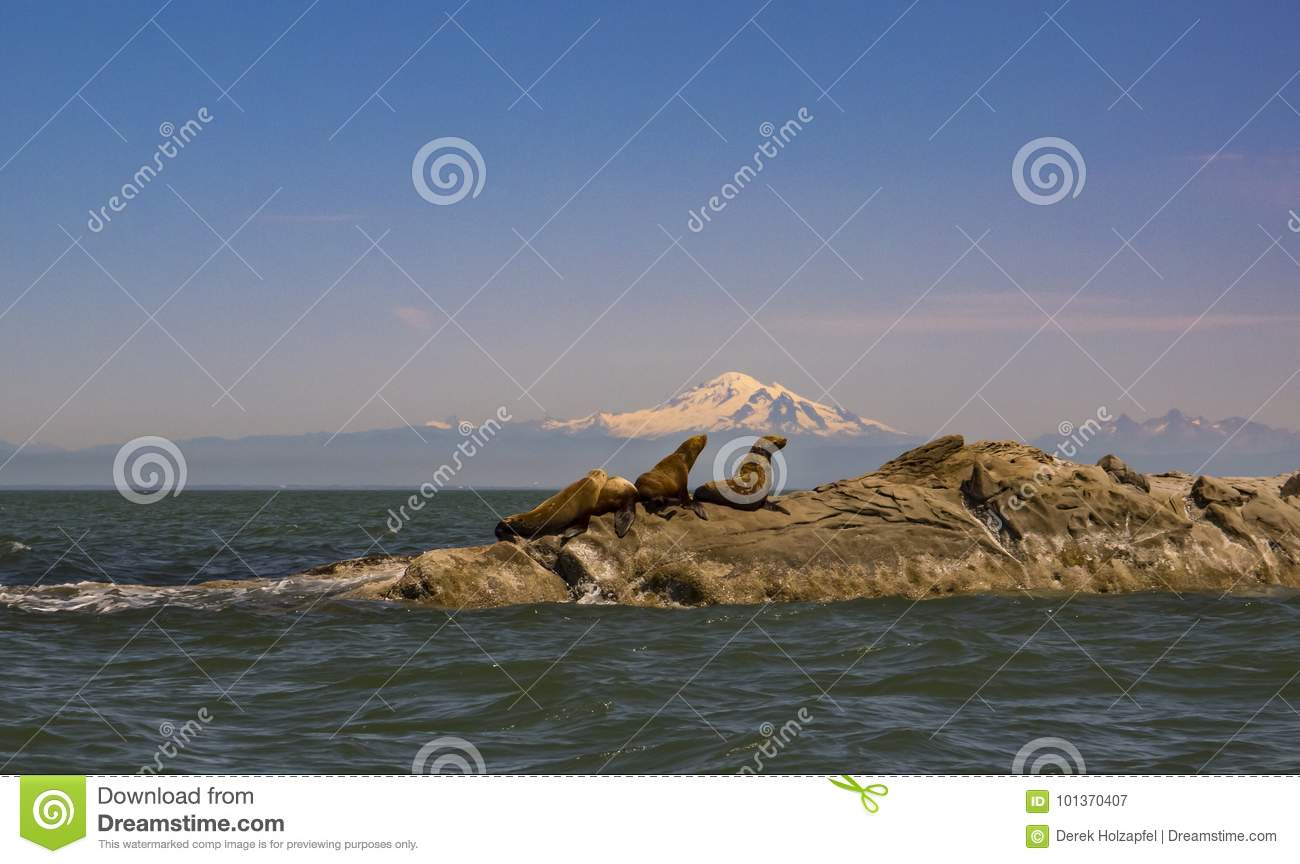 Sea Lions and Mount Baker
