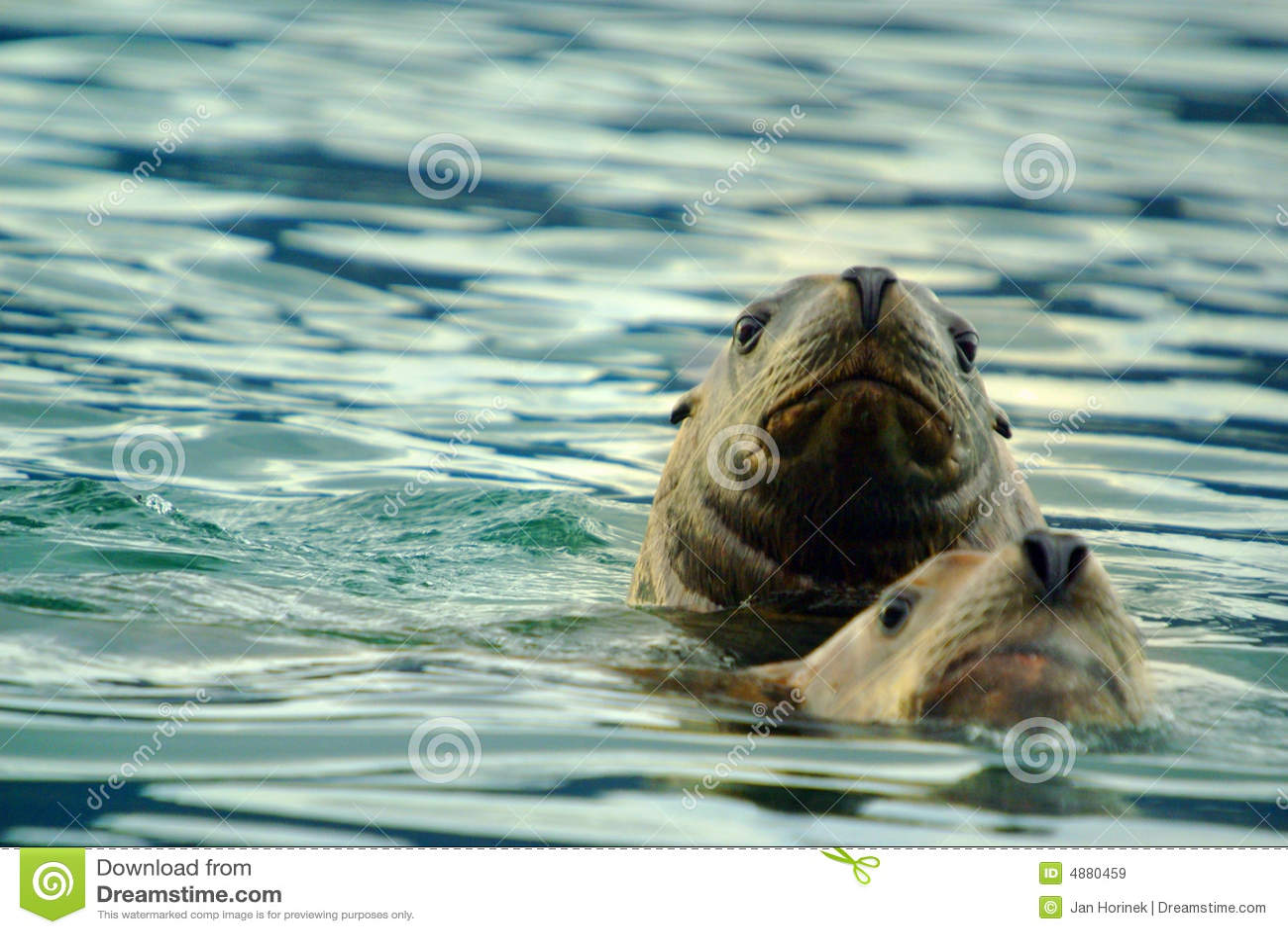 Sea lions pair