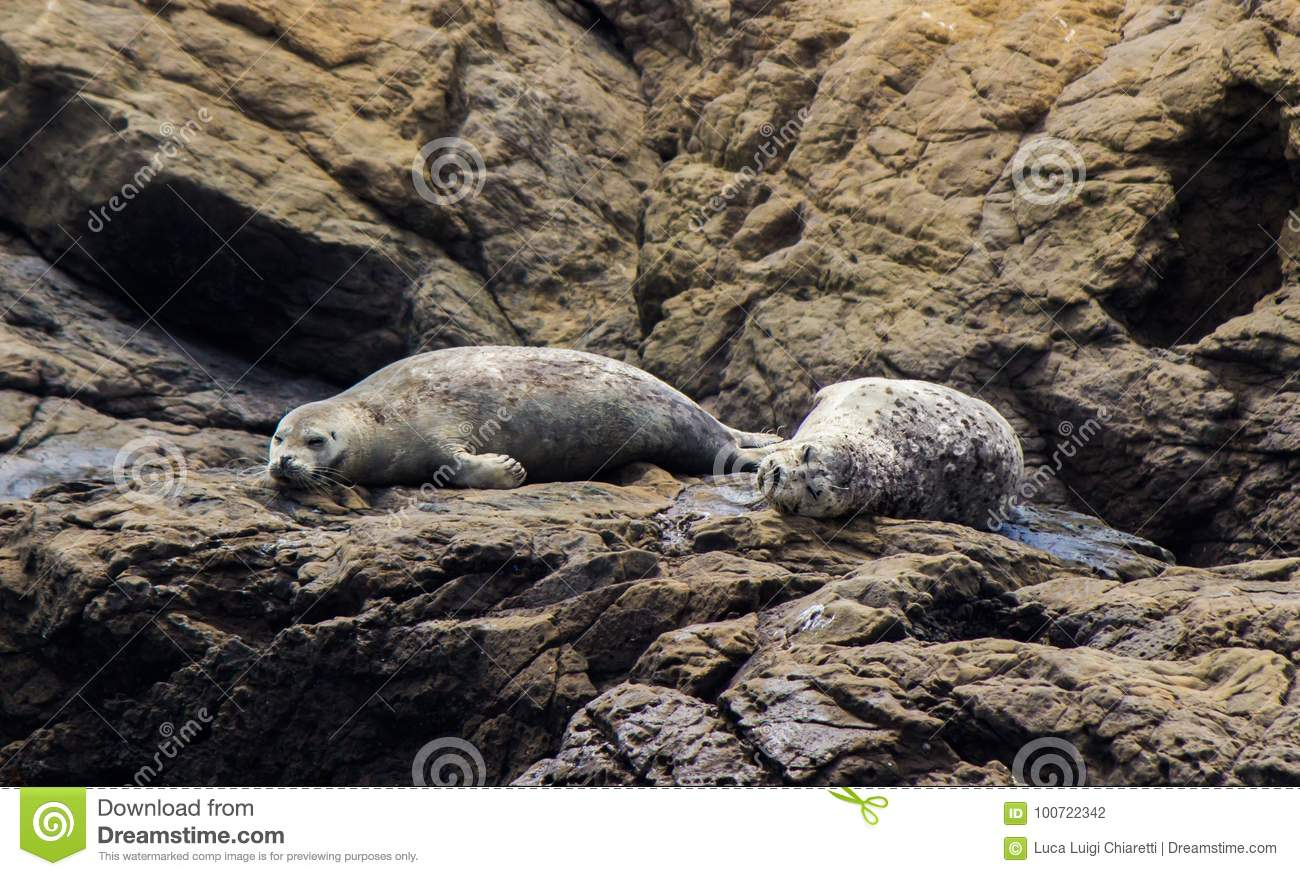 Sea Lions in relax