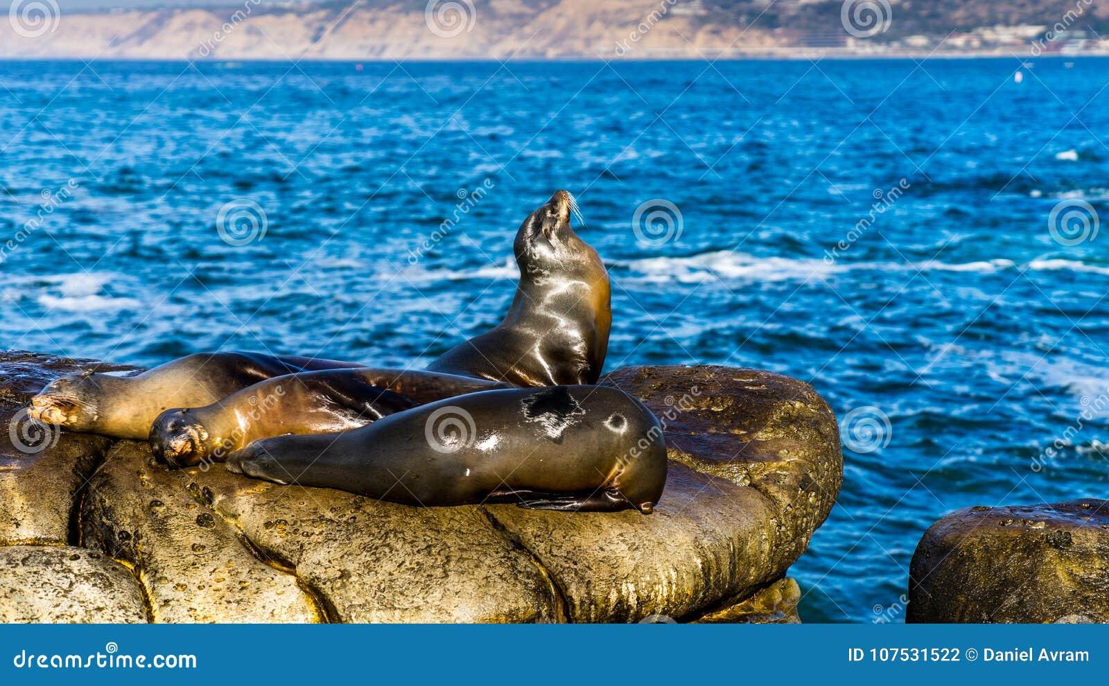 Sea Lions resting on cliffs, near La Jolla Beach, San Diego. USA.