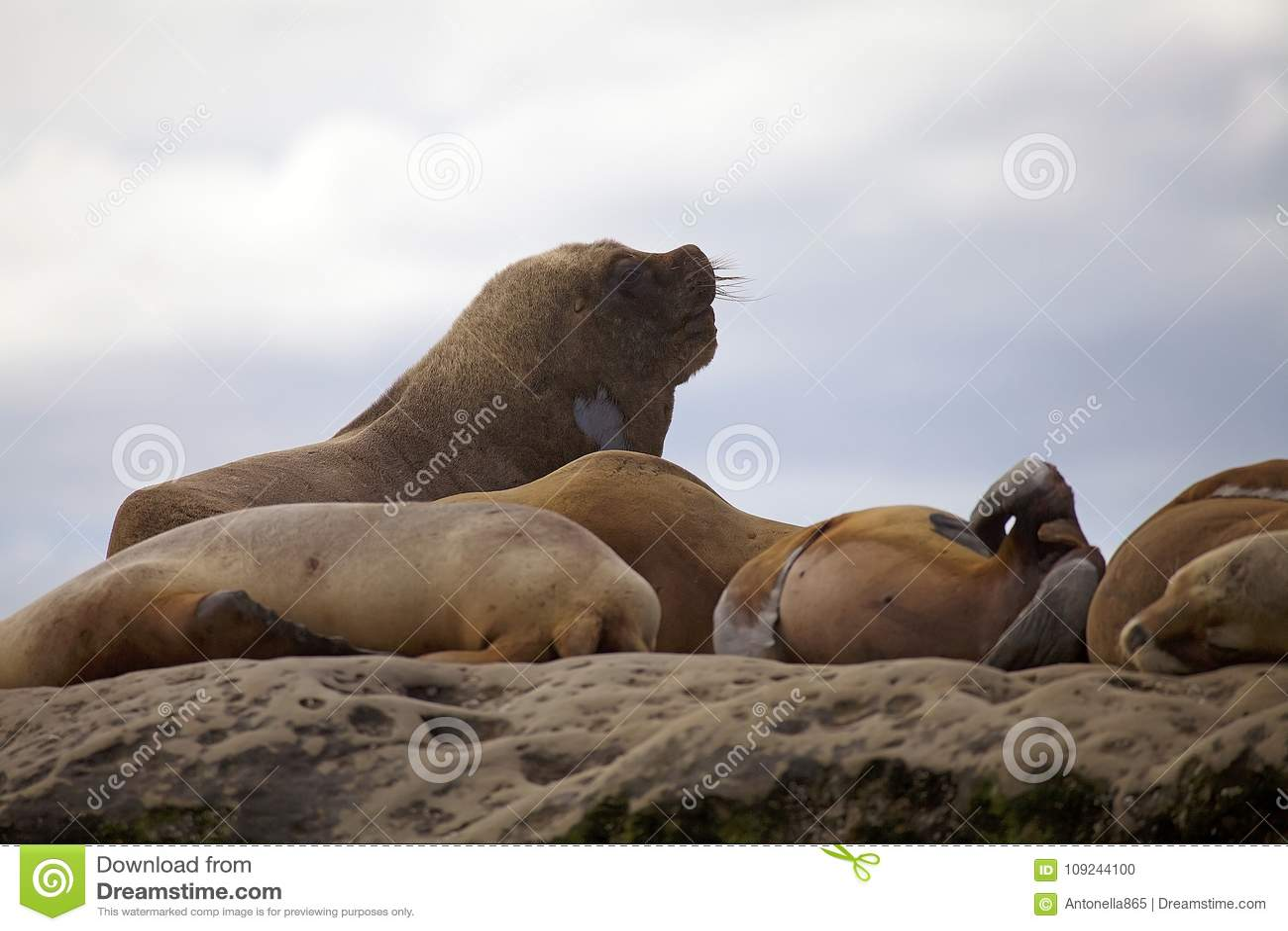 Sea Lions on the rock in the Valdes Peninsula, Atlantic Ocean, Argentina