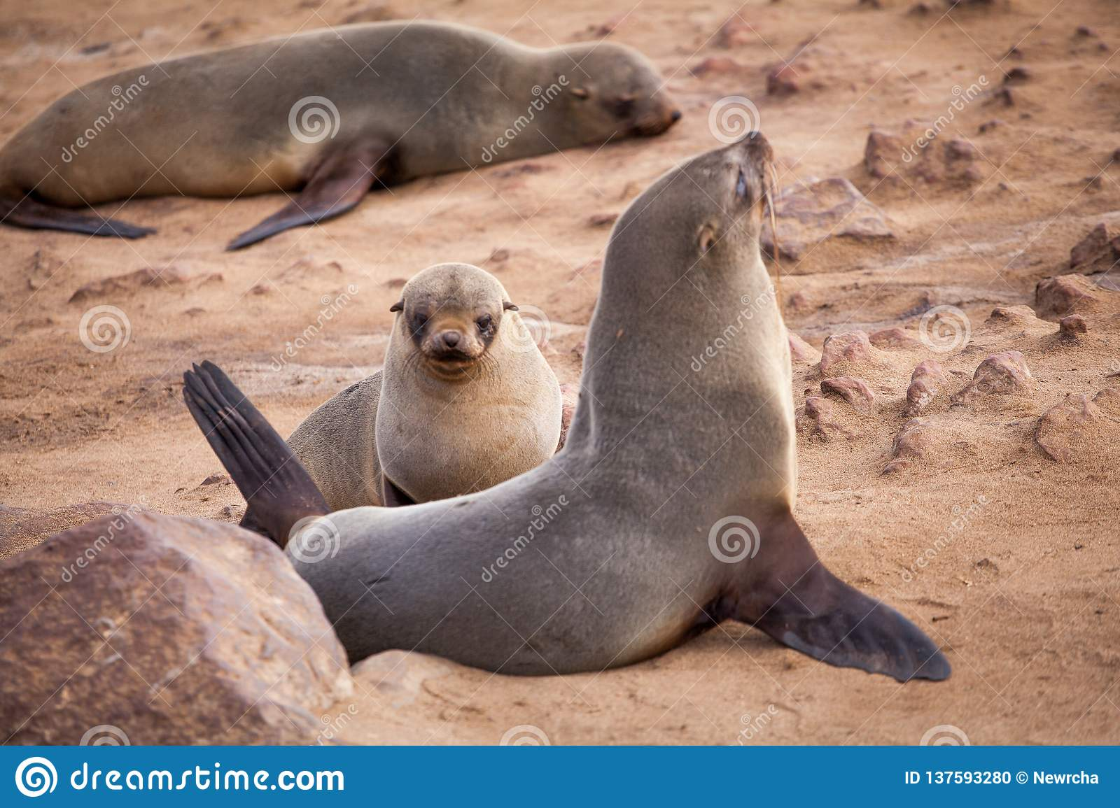Sea Lions Seals, Otariinae with pups