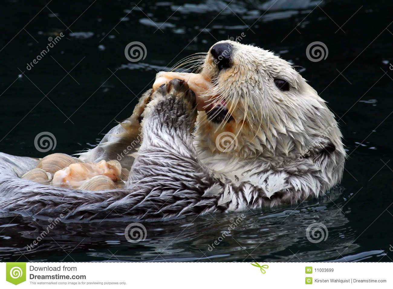 Download Sea Otter (Enhydra lutris) stock image. Image of otter - 11003699