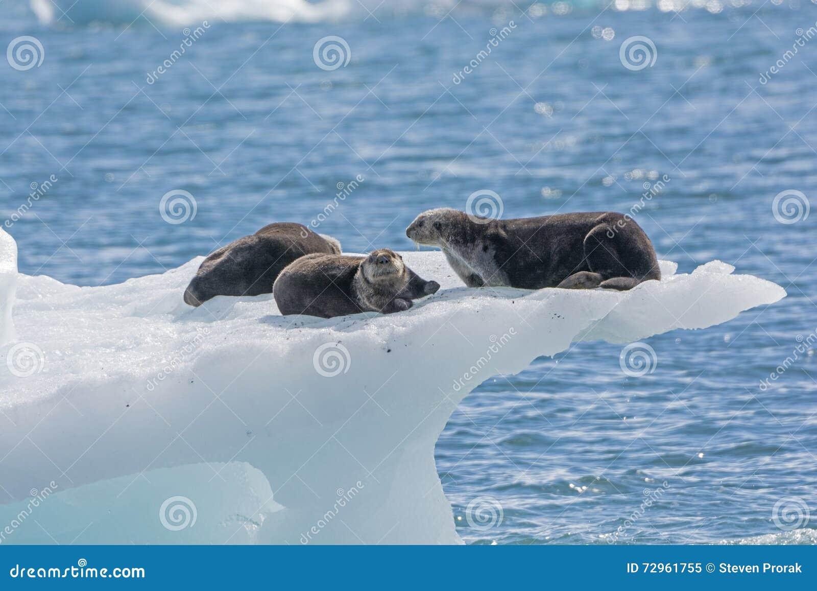 Sea Otters on an Ice Berg
