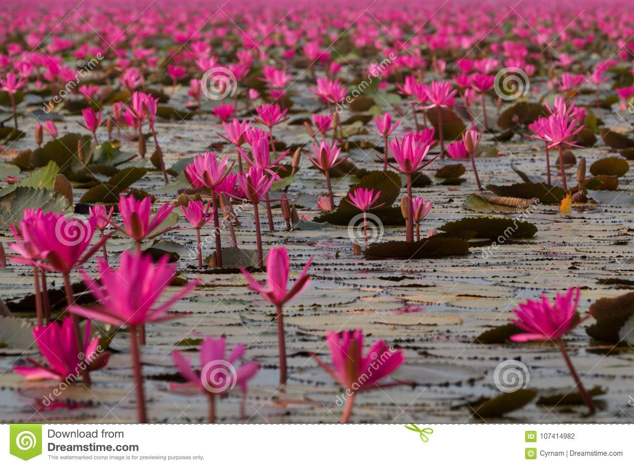 Sea of pink lotus flowers amazing water lily flowers symbol of download sea of pink lotus flowers amazing water lily flowers symbol of serenity stock izmirmasajfo