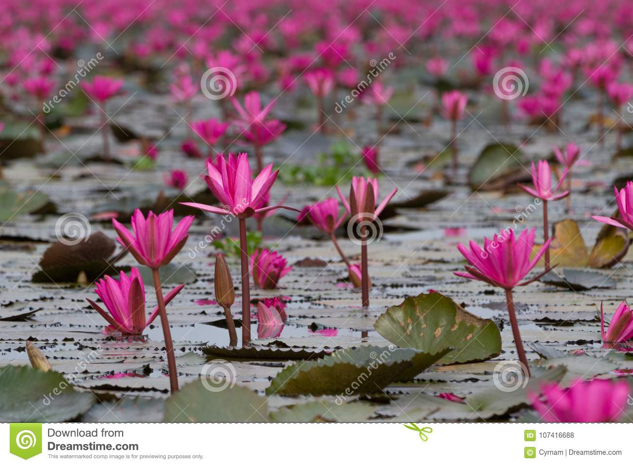 Sea of pink lotus flowers amazing water lily flowers symbol of sea of pink lotus flowers amazing water lily flowers symbol of serenity izmirmasajfo