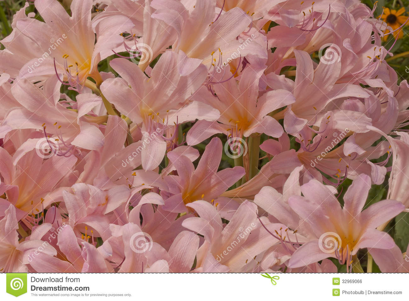 Sea of pink trumpets stock photo image of garden amaryllis 32969066 while this flower goes by many lily names surprise lily magic lily resurrection lily naked lady lazarus lily and naked lily its botanical name is mightylinksfo