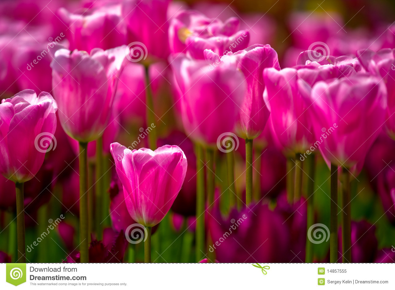 Sea of pink tulips