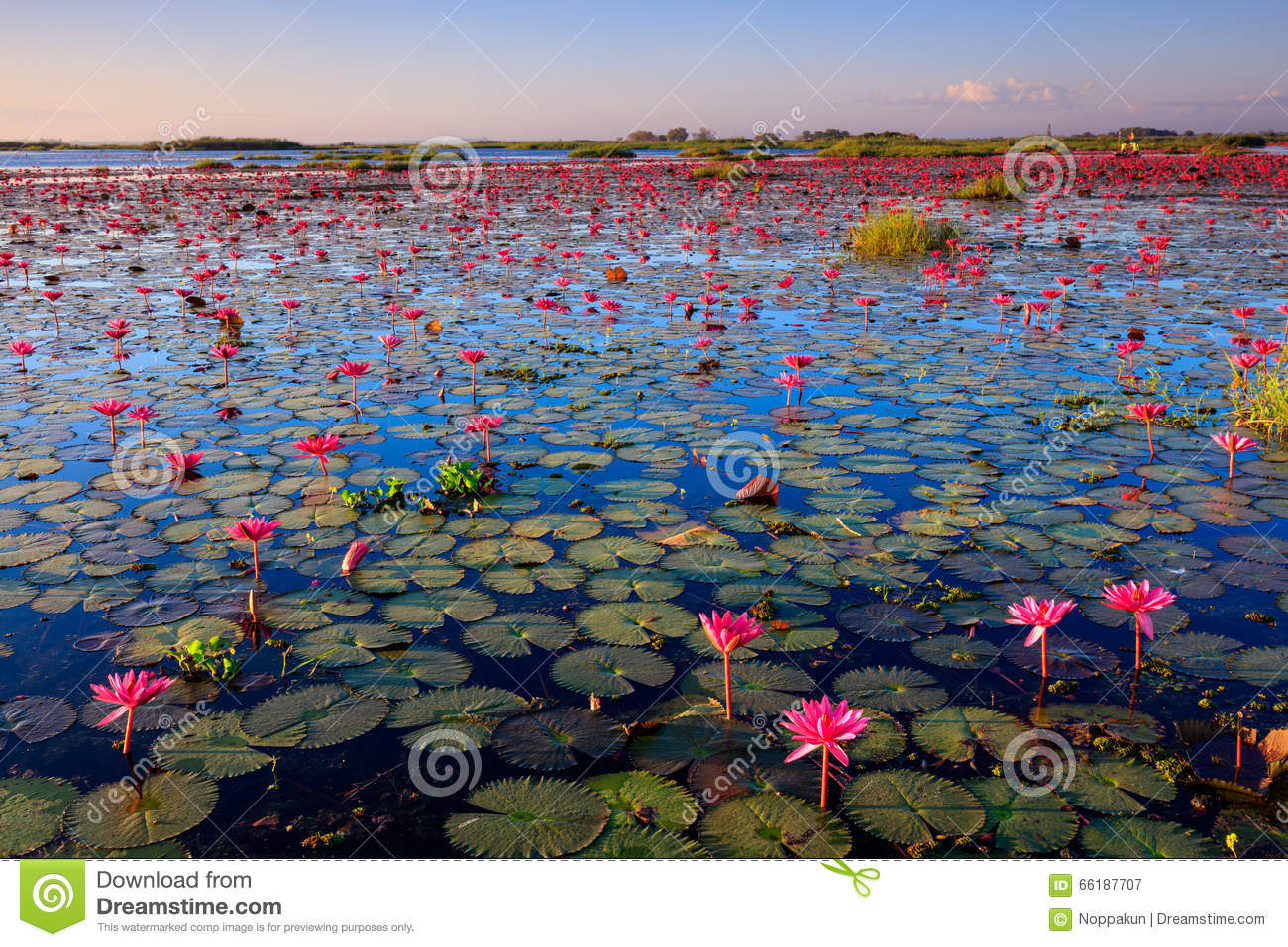 lotus field in thailand stock photo. Black Bedroom Furniture Sets. Home Design Ideas