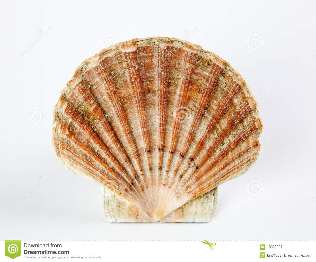 Sea Shell Royalty Free Stock Photography - Image: 18302297