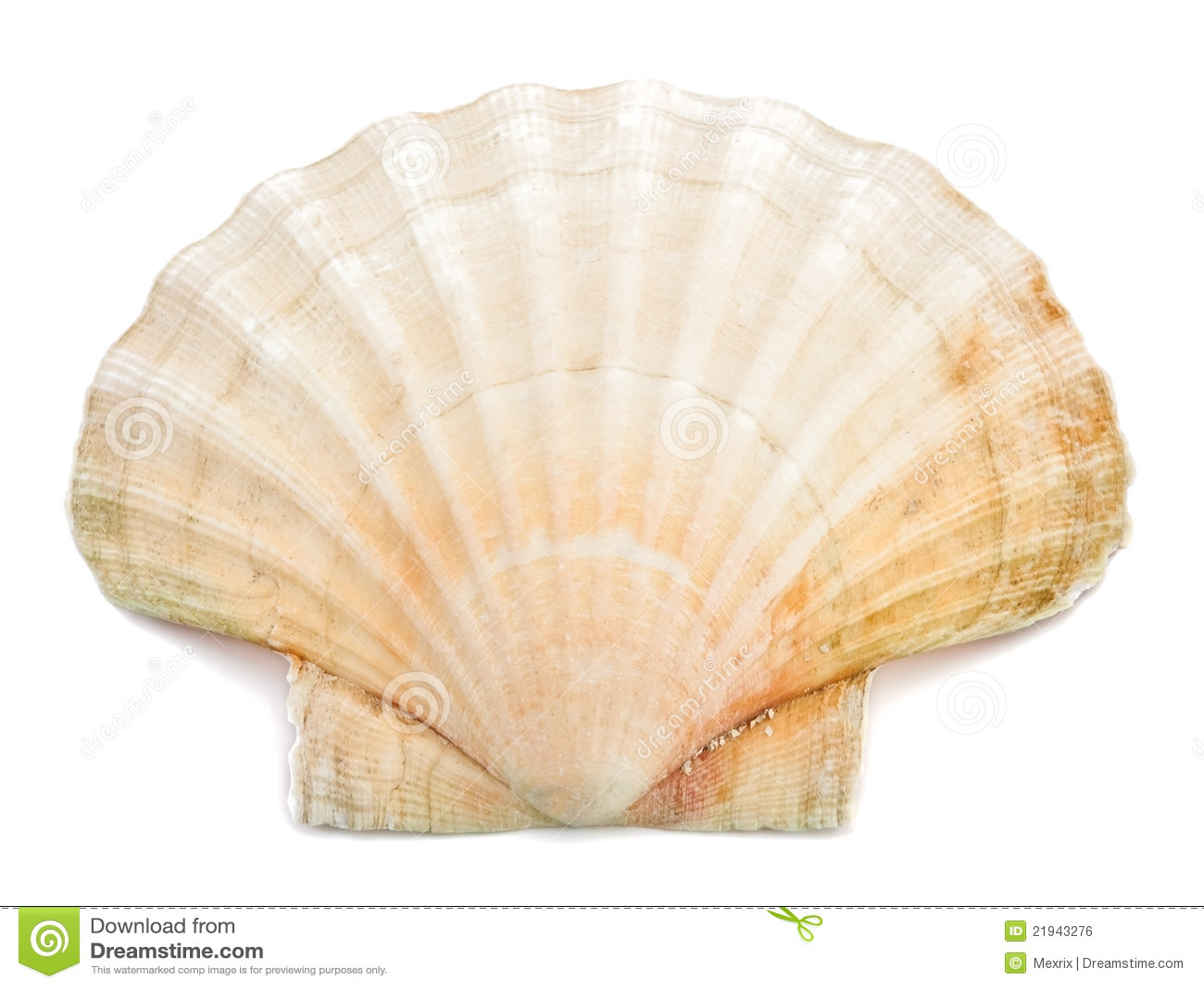 Sea Shell Sea shell
