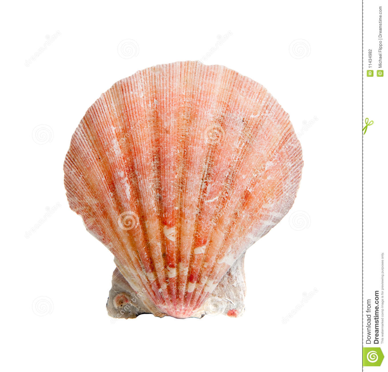 A sea shell or scallop on white