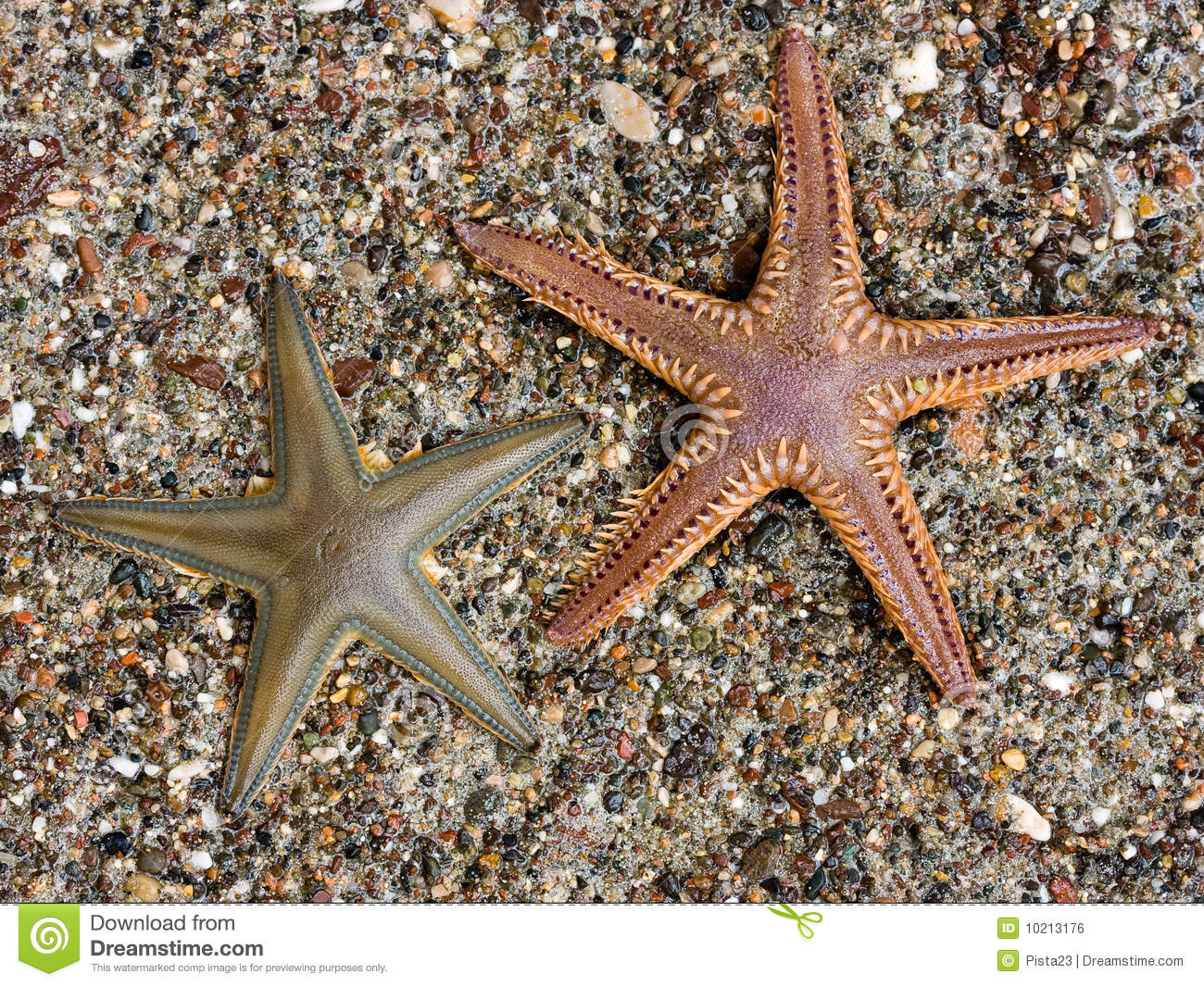 Sea Star Royalty Free Stock Image Image