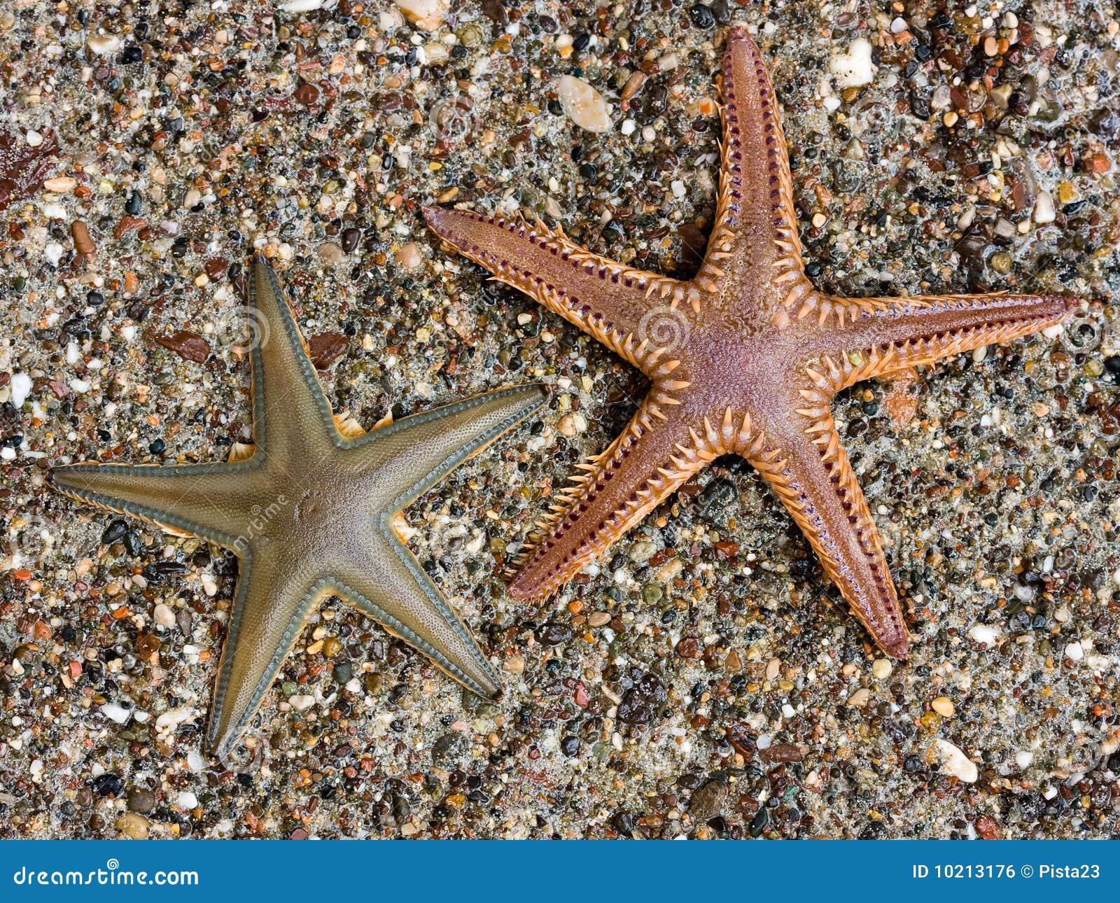 Sea Star Royalty Free Stock Image Image