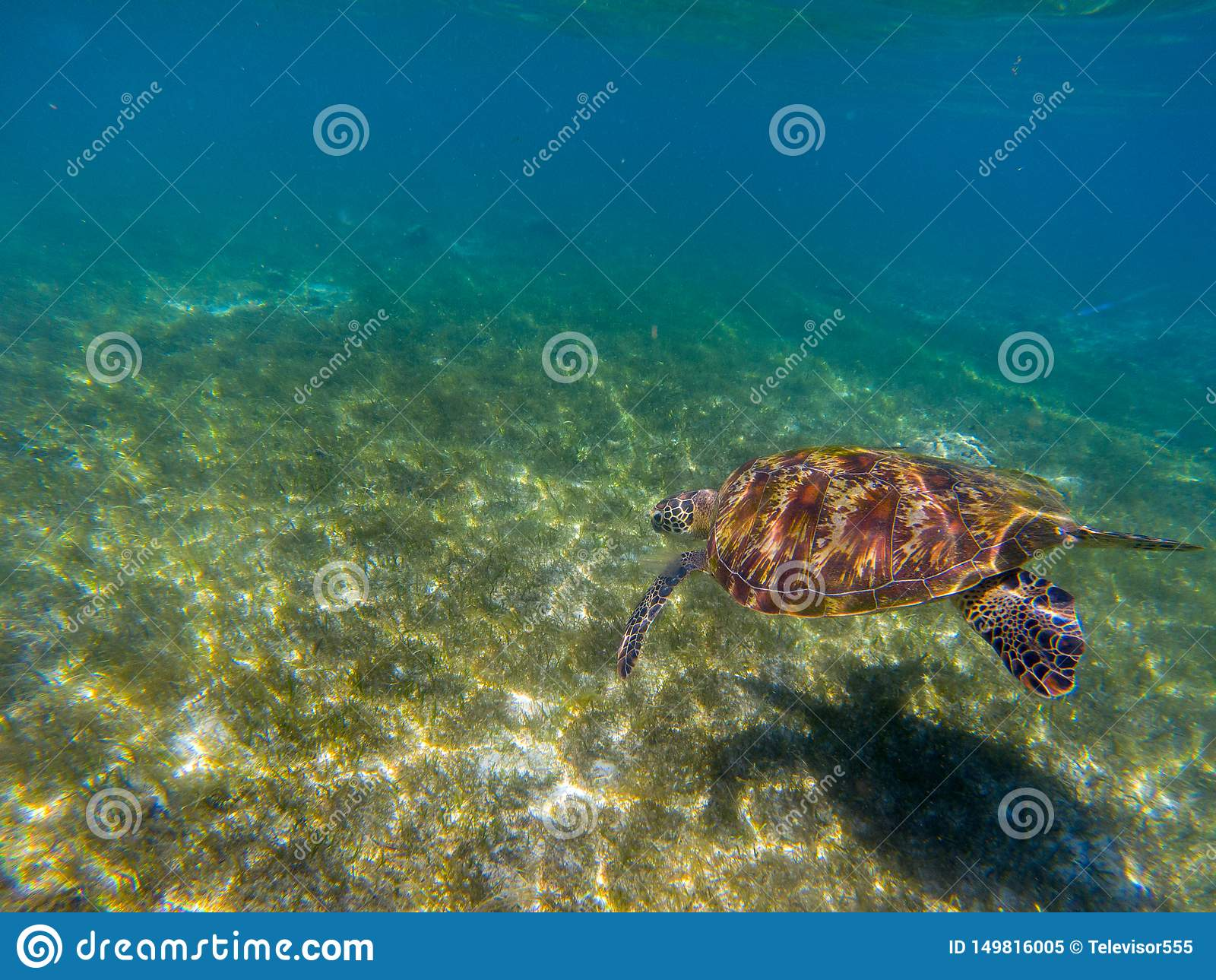 Sea Tortoise Dives In Shallow Water. Green Turtle