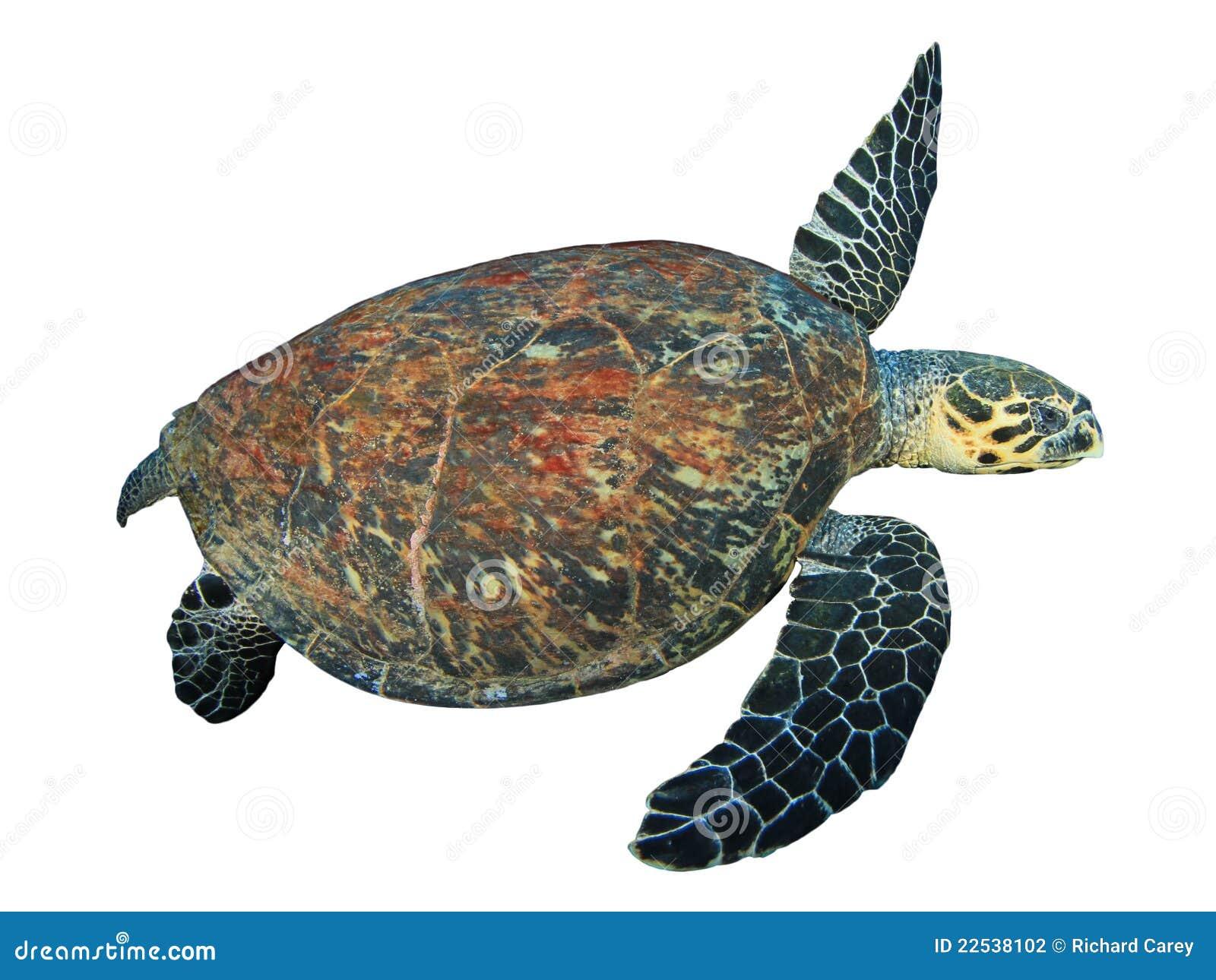 turtle white background - photo #24
