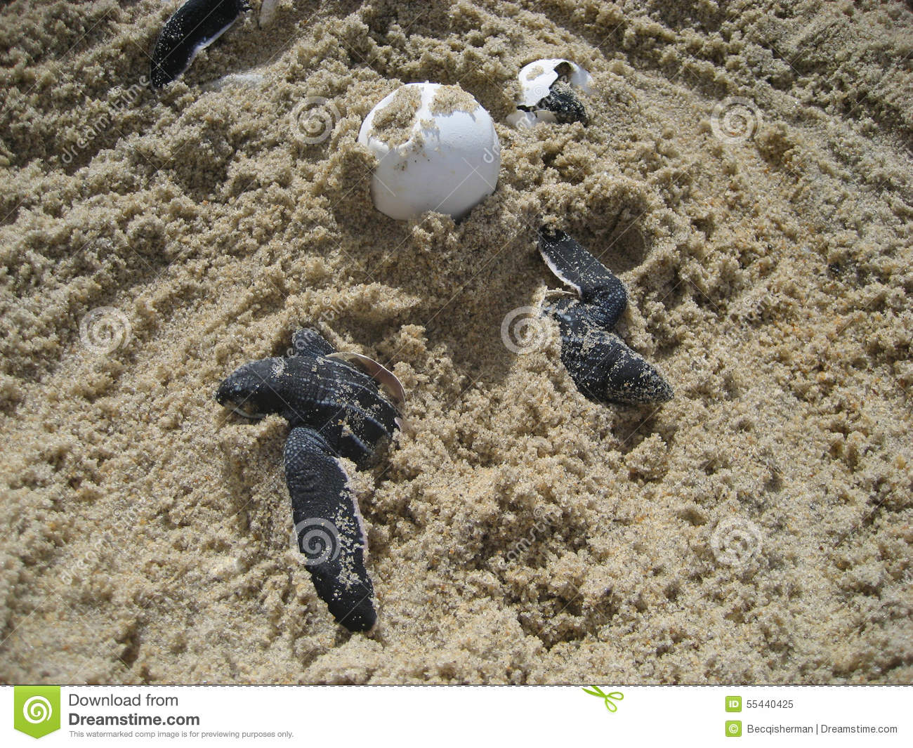 sea turtle baby hatchlings and eggs on beach stock image