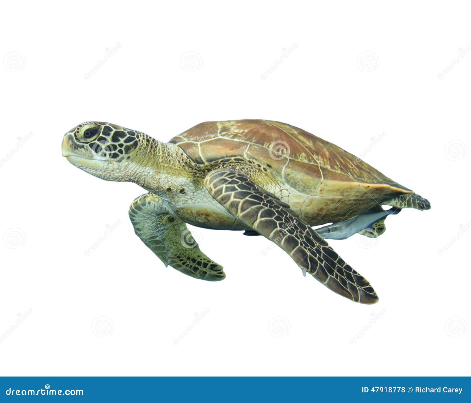 turtle white background - photo #8