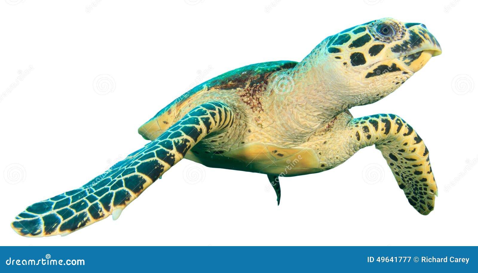 turtle white background - photo #42