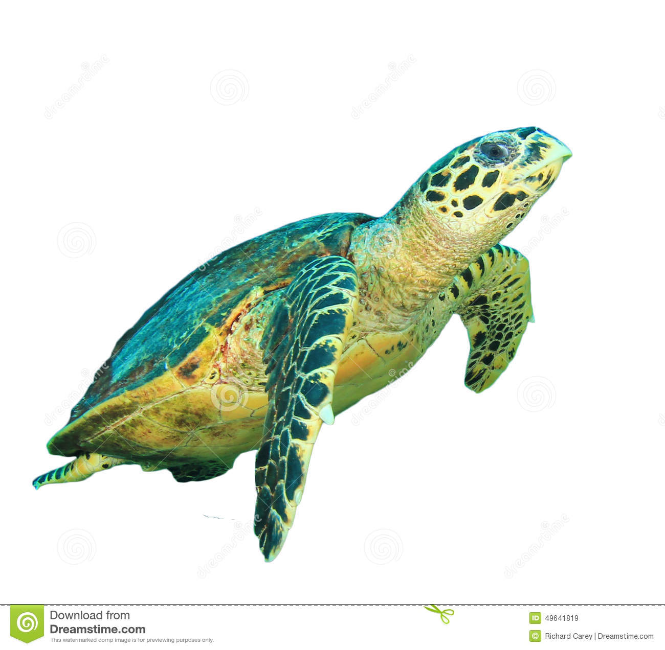 Color Of The Green Sea Turtle