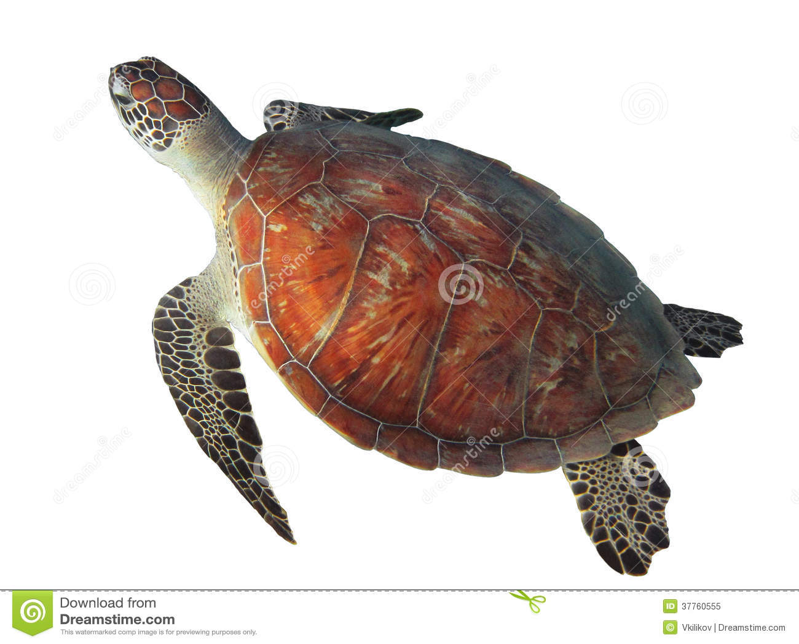 turtle white background - photo #2