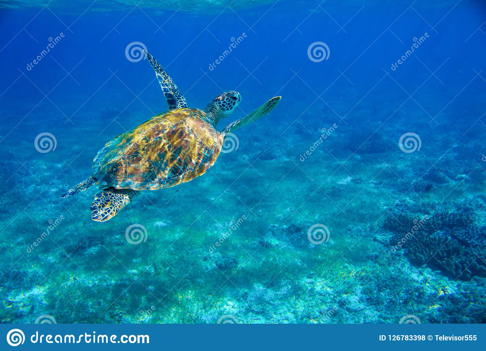Sea Turtle In Shallow Water Underwater Photo. Marine Green