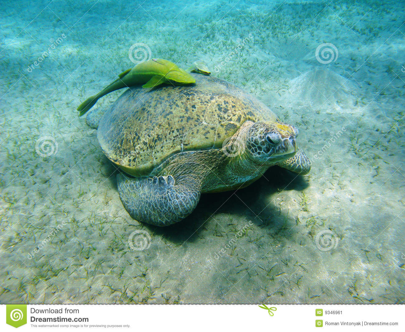 Sea turtle and suckerfishes