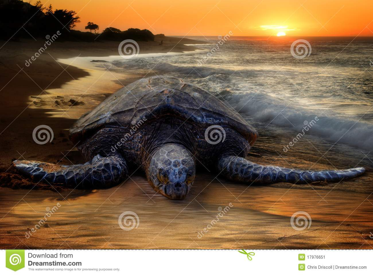 Sea Turtle, Sunset Beach