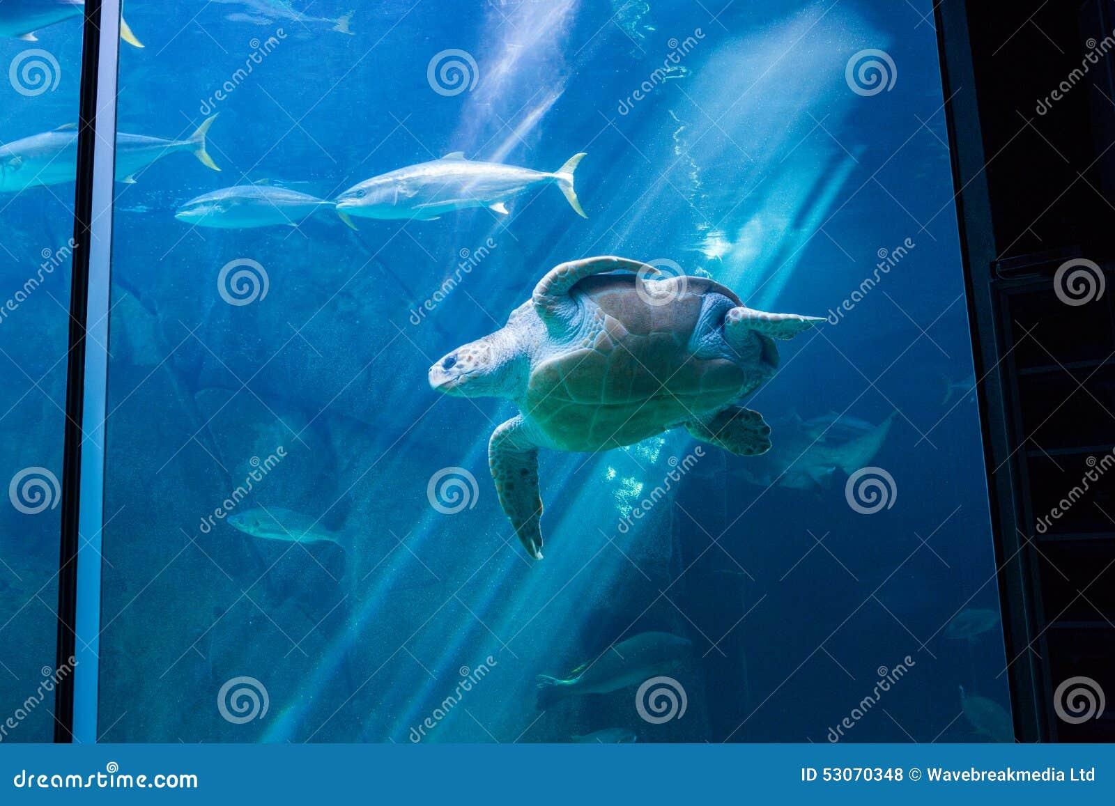 Fish in tank swimming - Sea Turtle Swimming With Fish In Tank