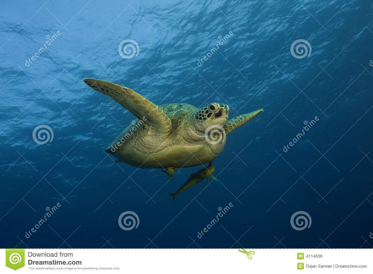 sea turtle seen swimming underwater in the blue ocean. It is swimming ...