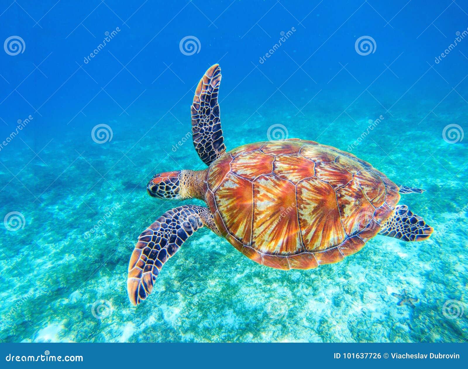 Sea turtle swims in sea water. Big green sea turtle closeup. Wildlife of tropical coral reef.