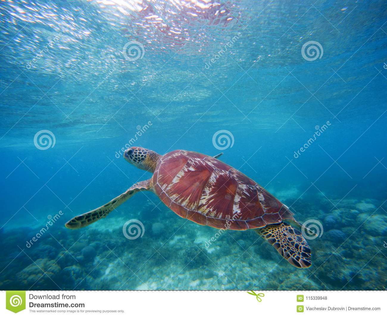 Sea Turtle Swims Up To Take Breath On Sea Water Surface