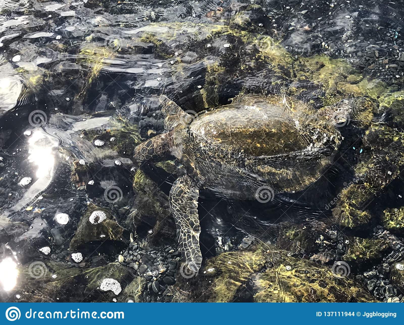 Sea turtle in water on the black sand beach in Maui