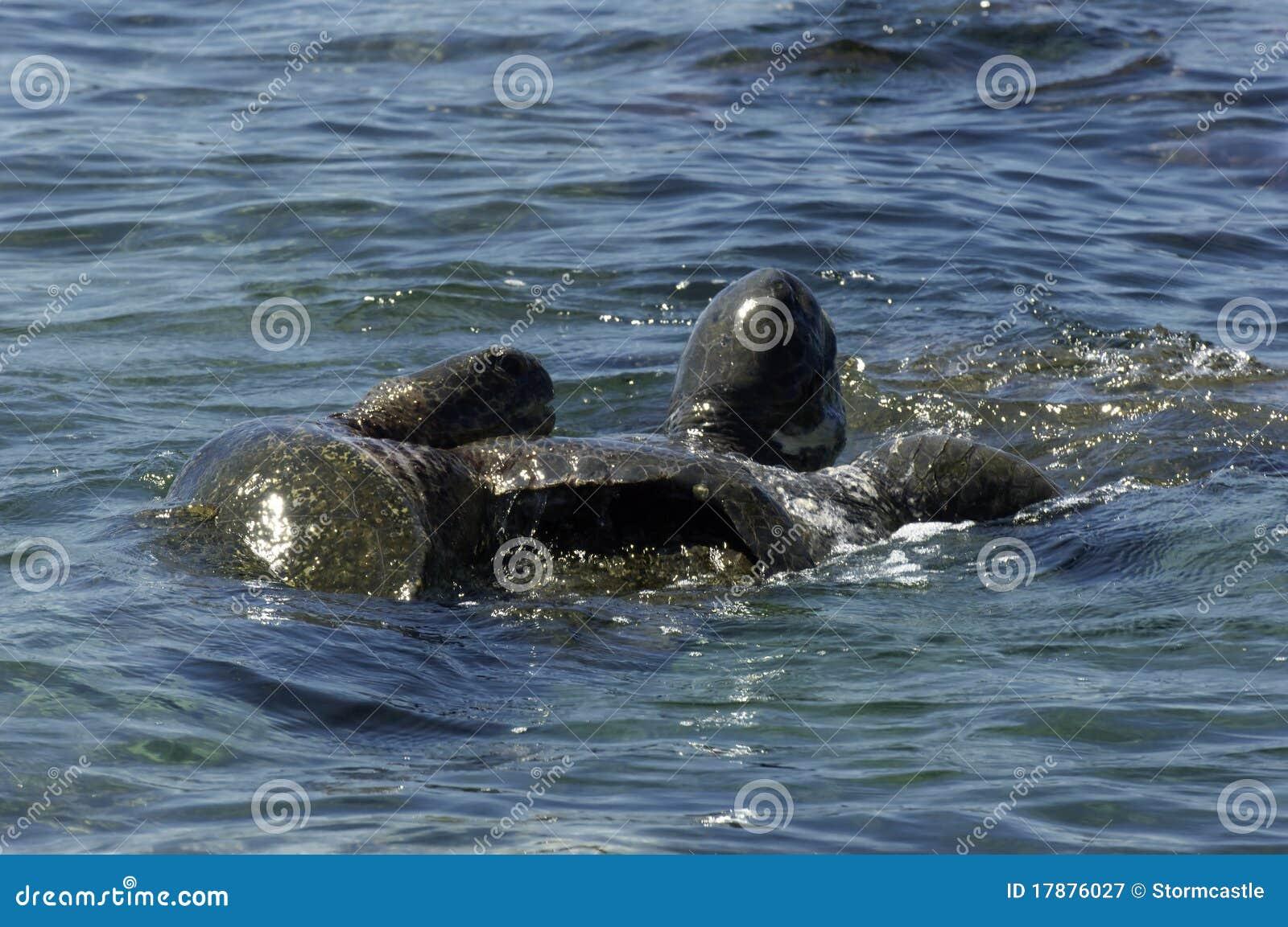 Sea Turtles Mating Stock Image Image Of Mating, Animal -8872