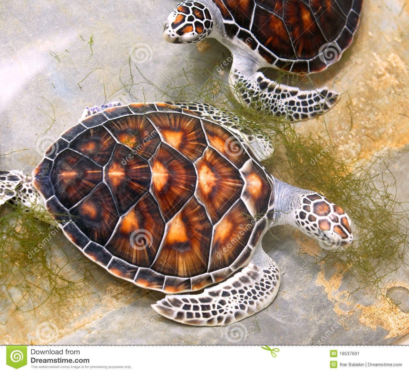 Sea turtles in nursery