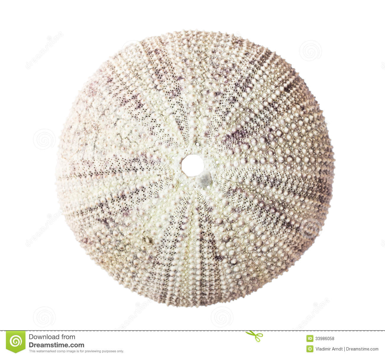 White sea urchin shell - photo#15