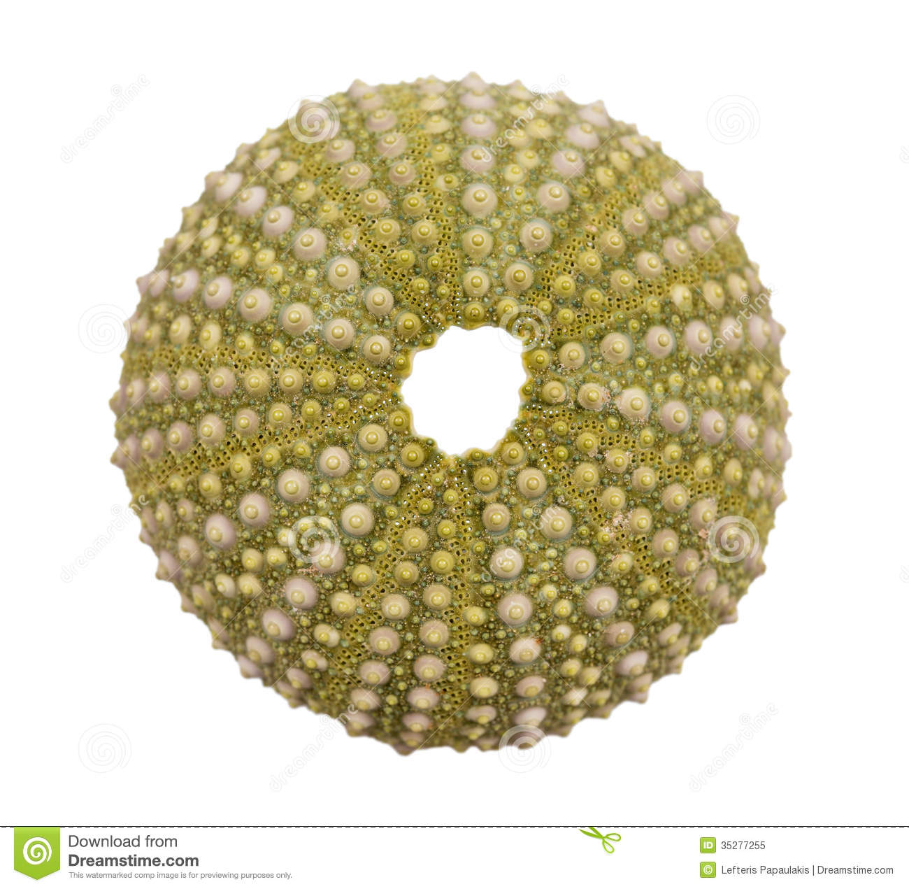 White sea urchin shell - photo#6