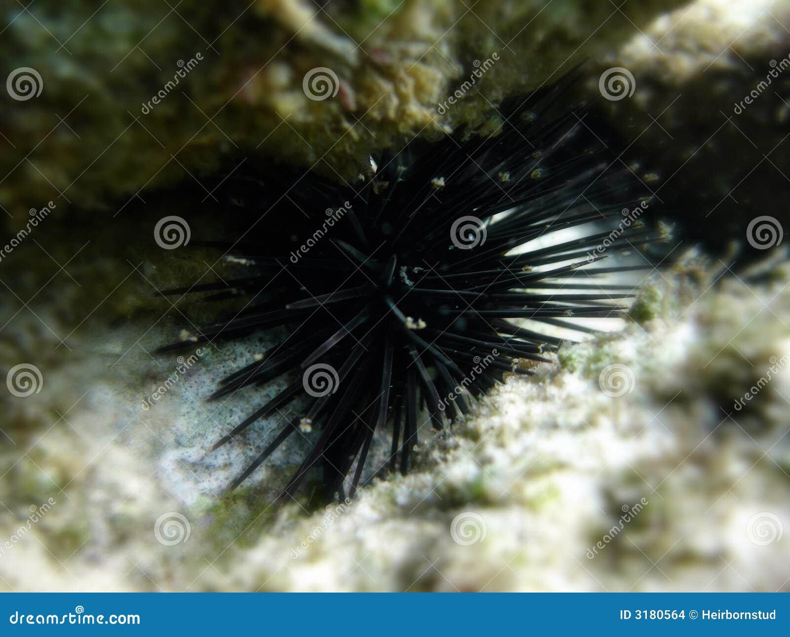 Sea urchin under water