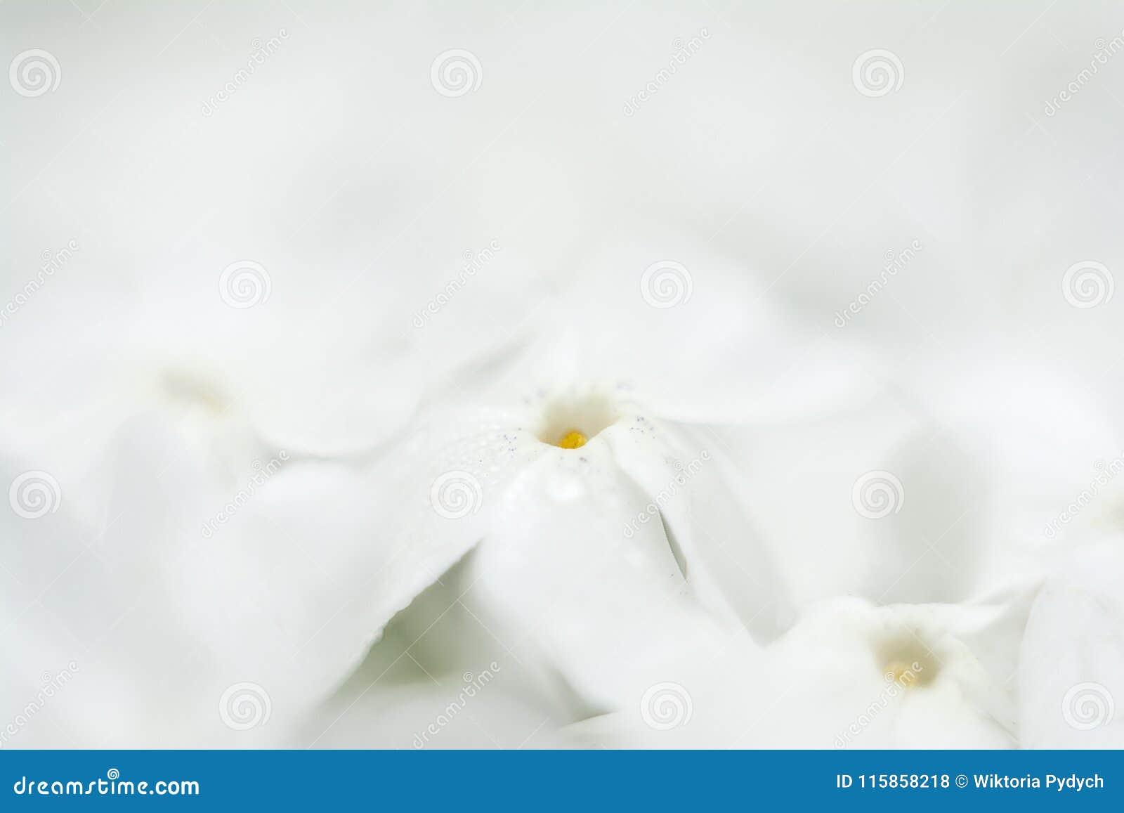 A Sea Of White Flowers Stock Photo Image Of Botanic 115858218