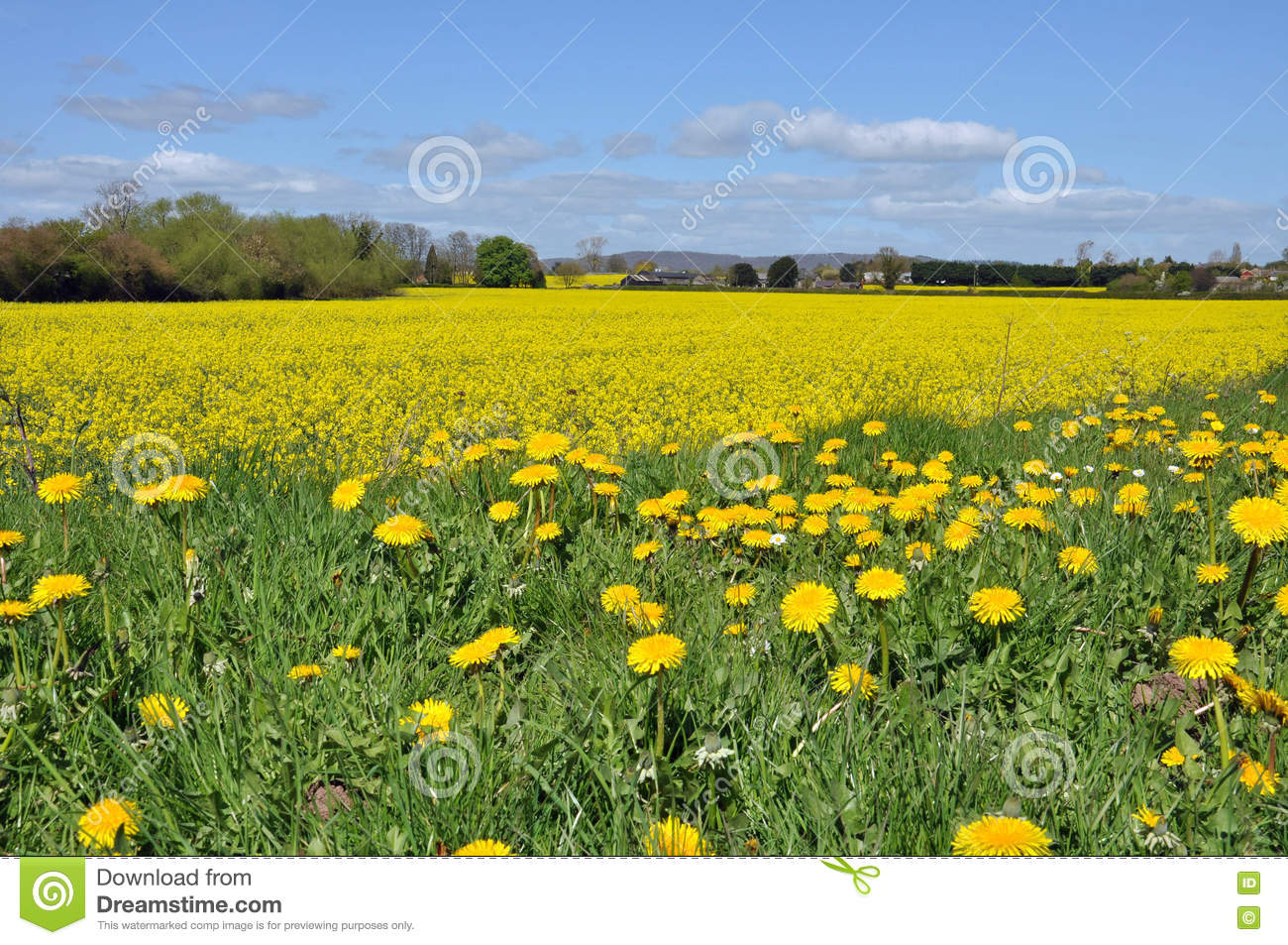 Sea Of Yellow Canola And A Few Dandelions Too Stock Photo Image