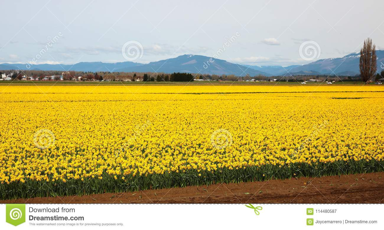 Daffodil Fields in Skagit Valley