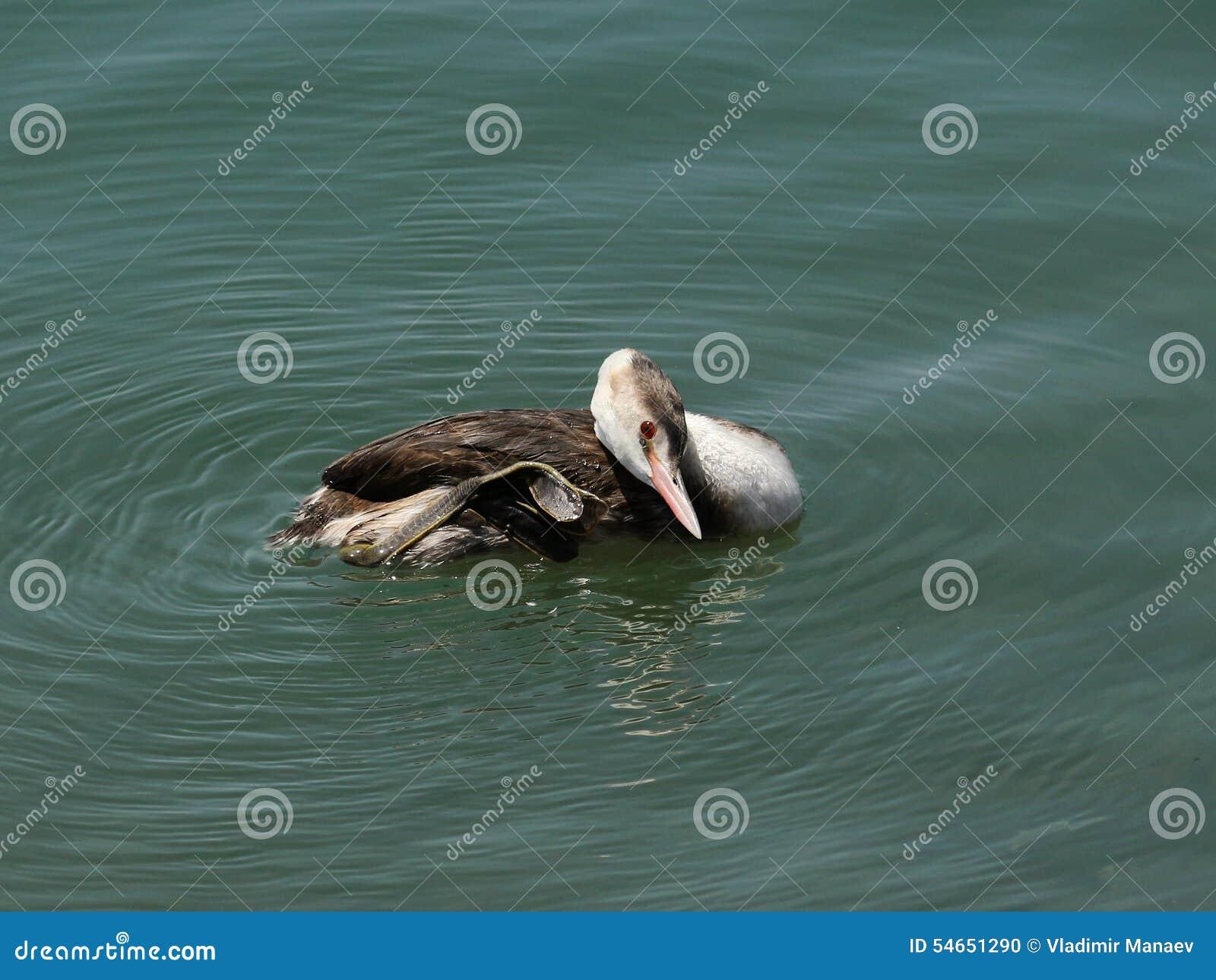 Seabirds Cristatus del Podiceps
