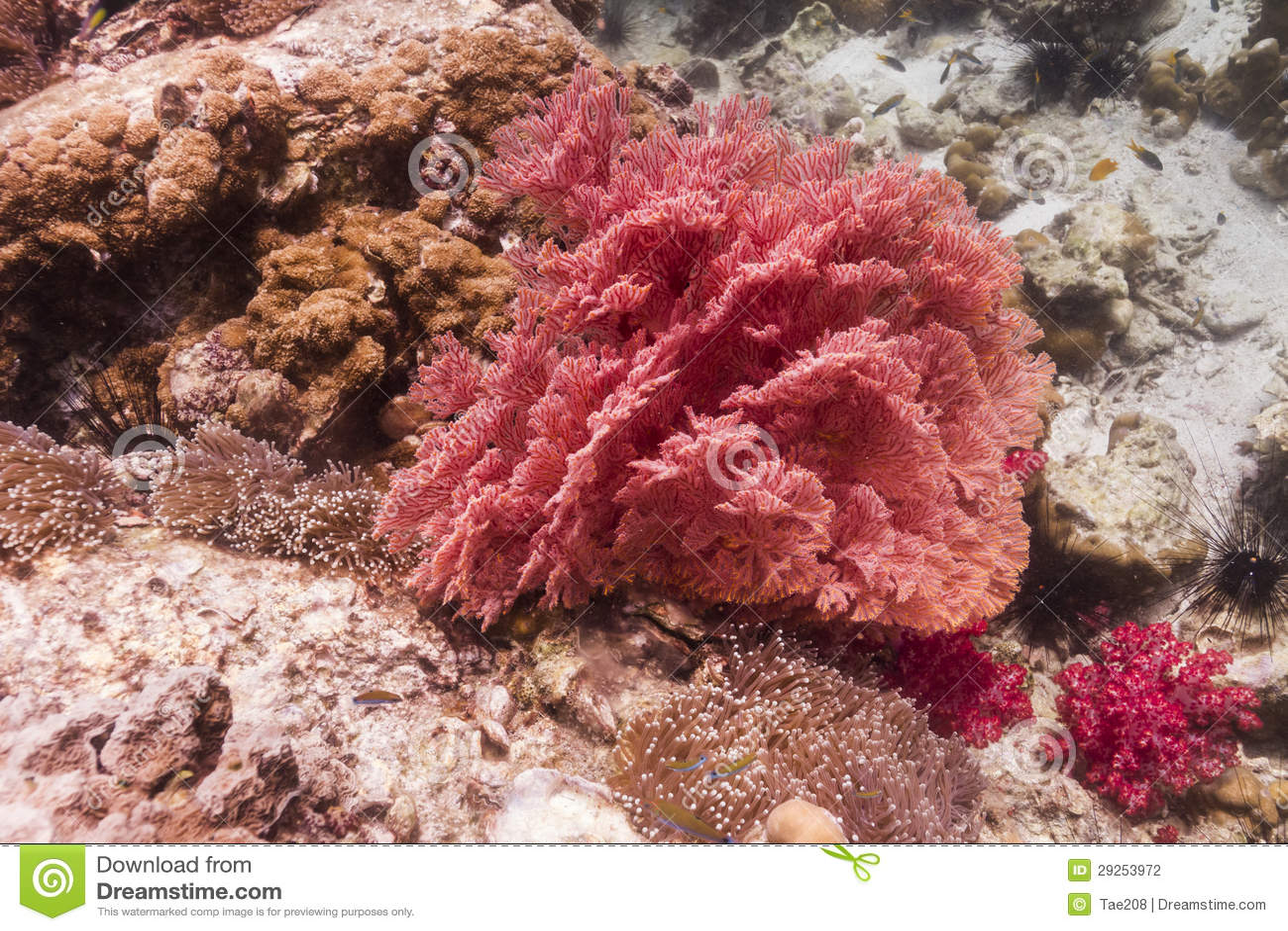 Seafan coloré à l île de Lipe
