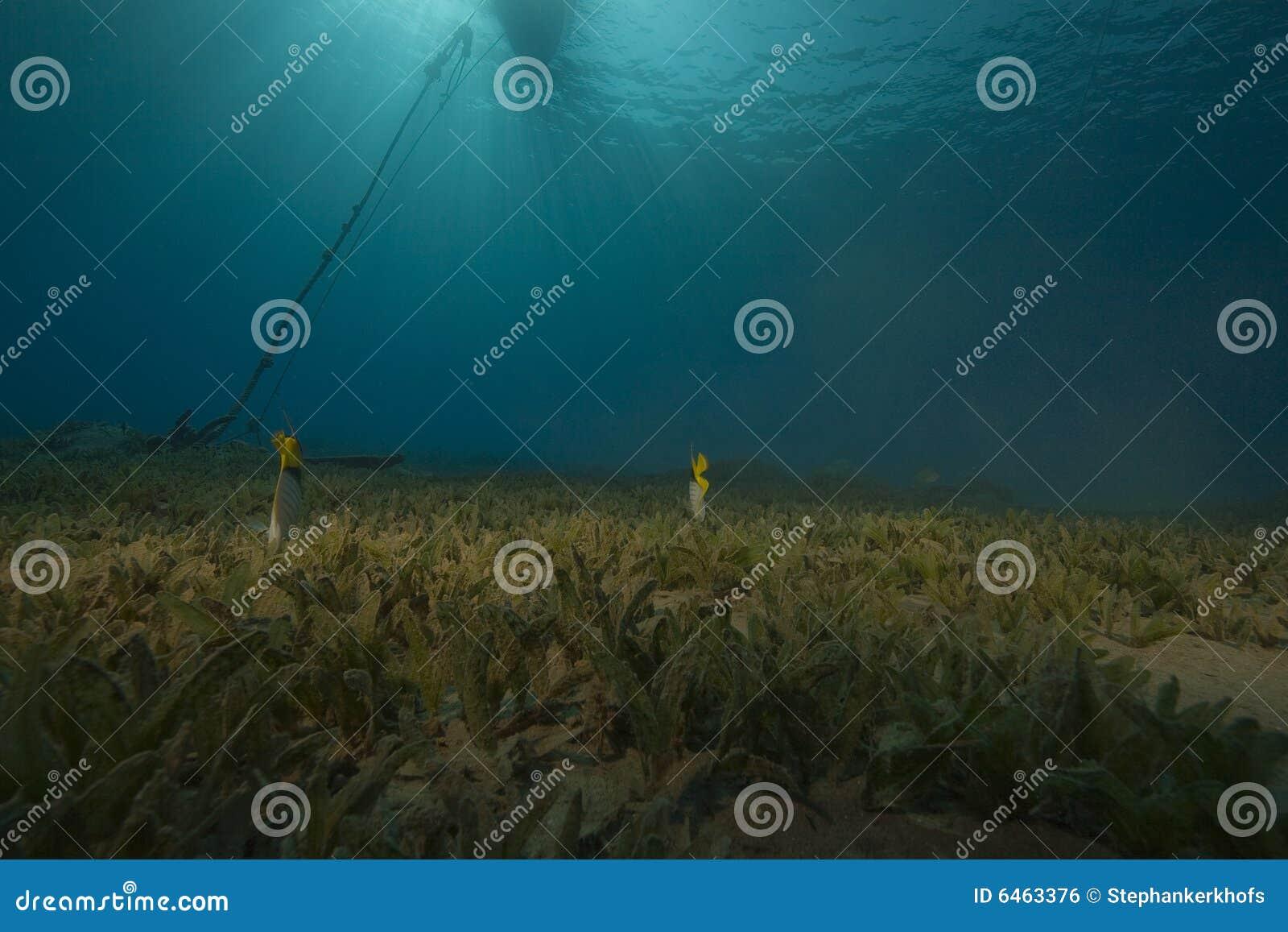 Seagrass ψαριών