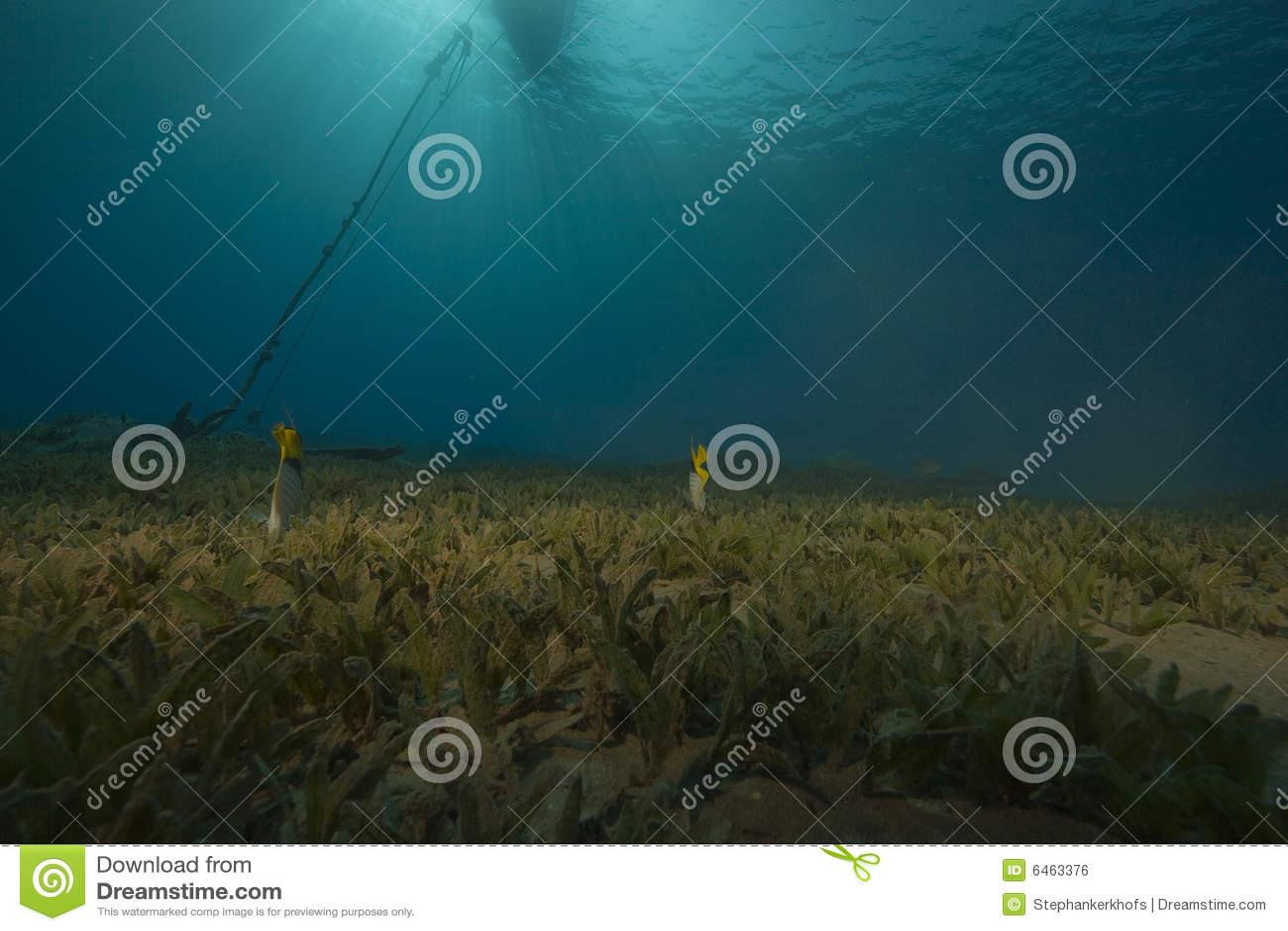 Seagrass ryb