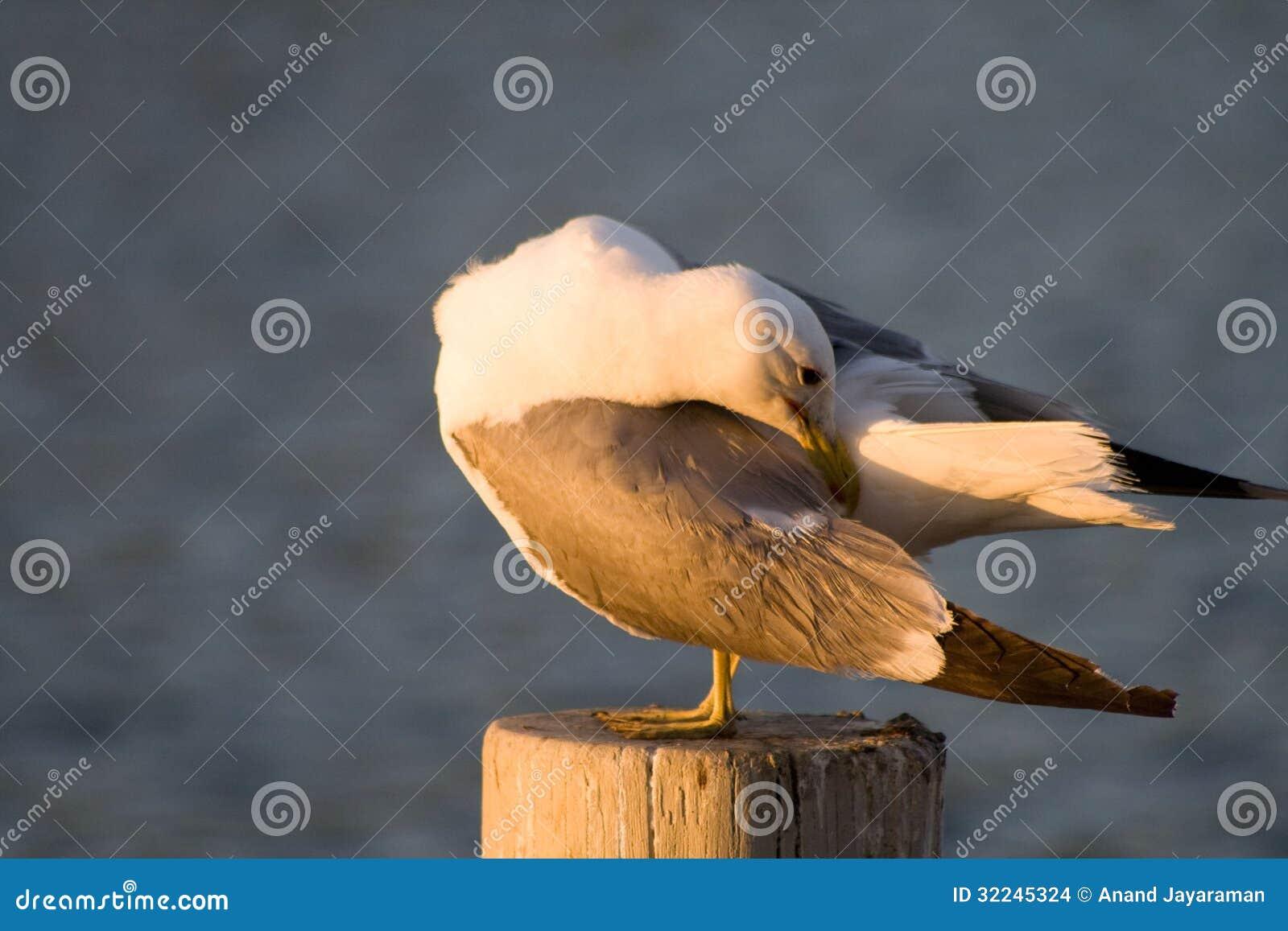 Download Seagul stock photo. Image of swim, seagul, white, gazing - 32245324