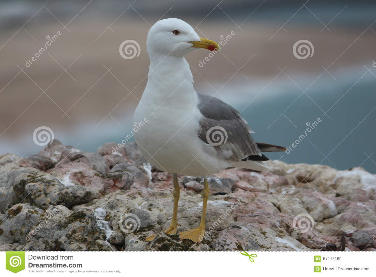 Download Seagul stock photo. Image of part, paredes, fisherman - 67173160