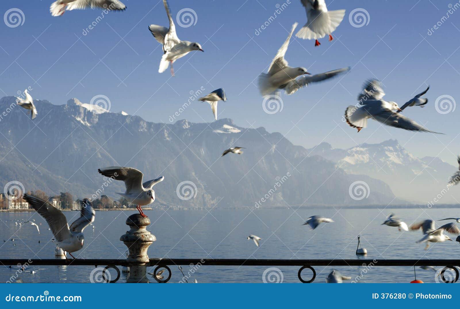 Seagull Ελβετός λιμνών