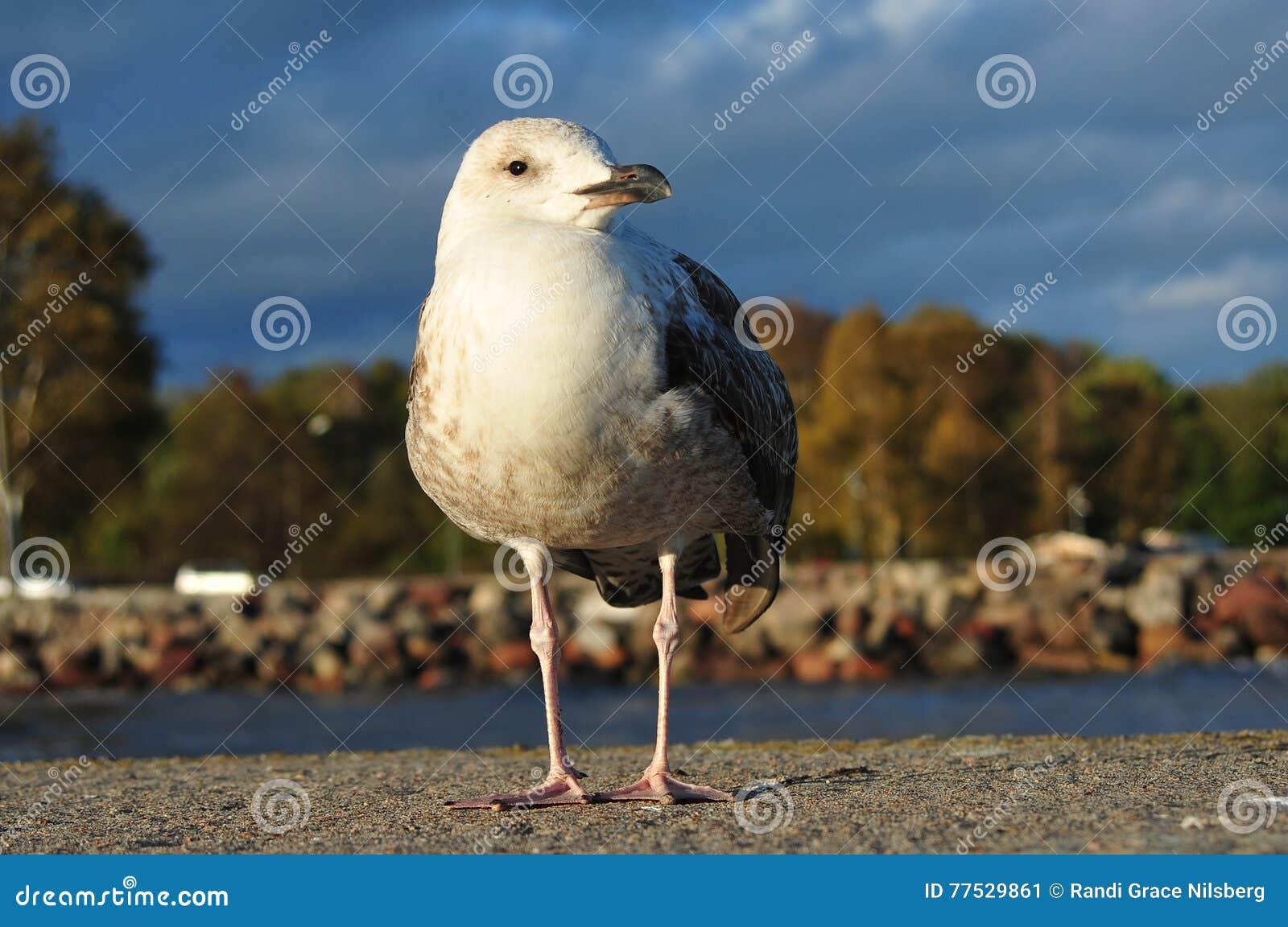 Seagull πορτρέτο